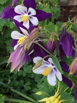 Lovely, perennia Columbine by seed