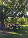 Dining under the cottonwood tree.