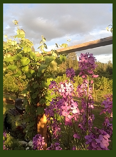 Grapes with phlox and lavender garden.