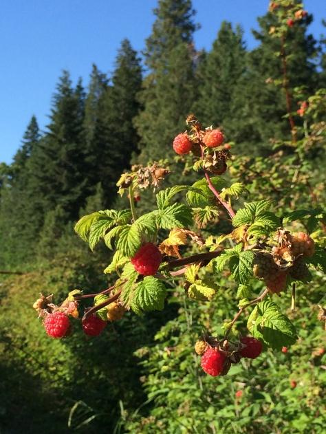 Raspberries during July!