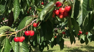 wide cherry view