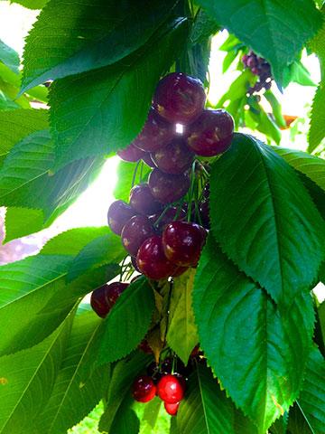 cherries-branch-down