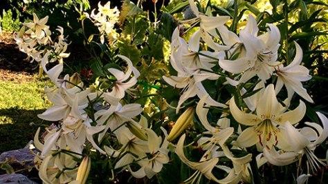 lillies-stone-garden
