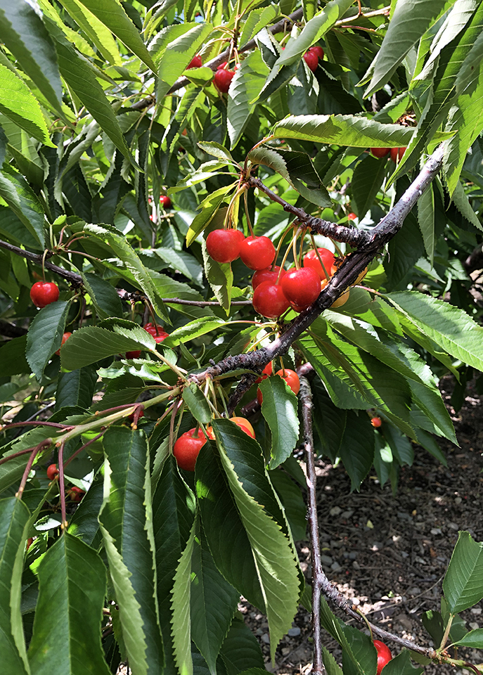Cherry Report July 12, 2020